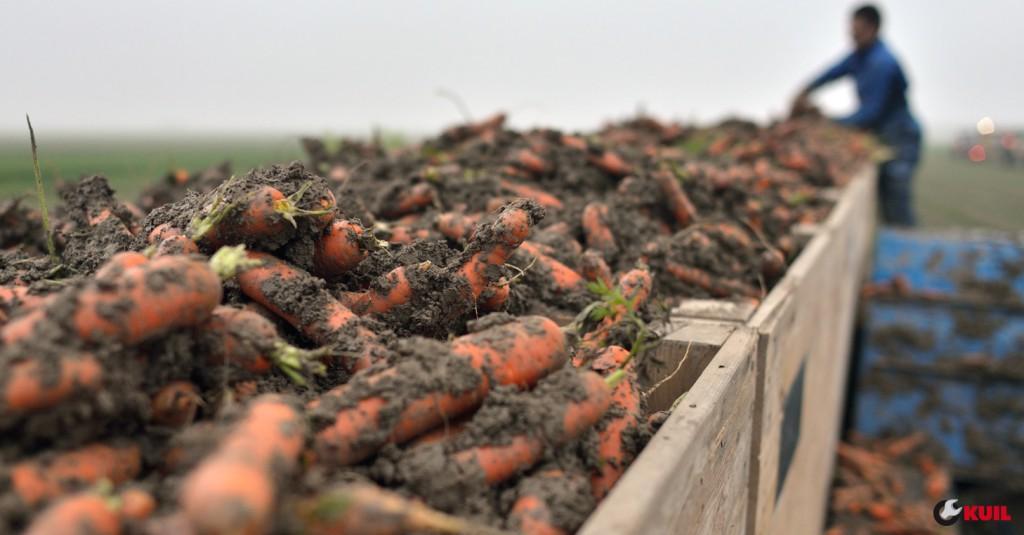 wortels-klei